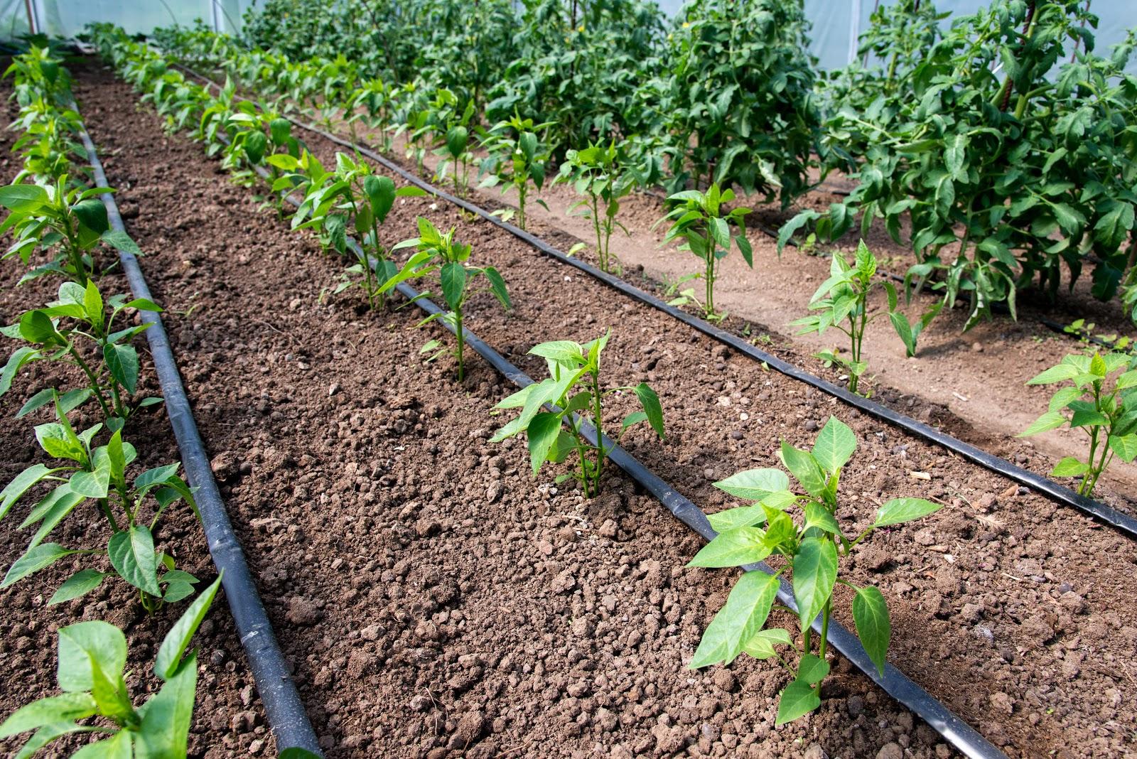 irrigation garden drip line shutterstock