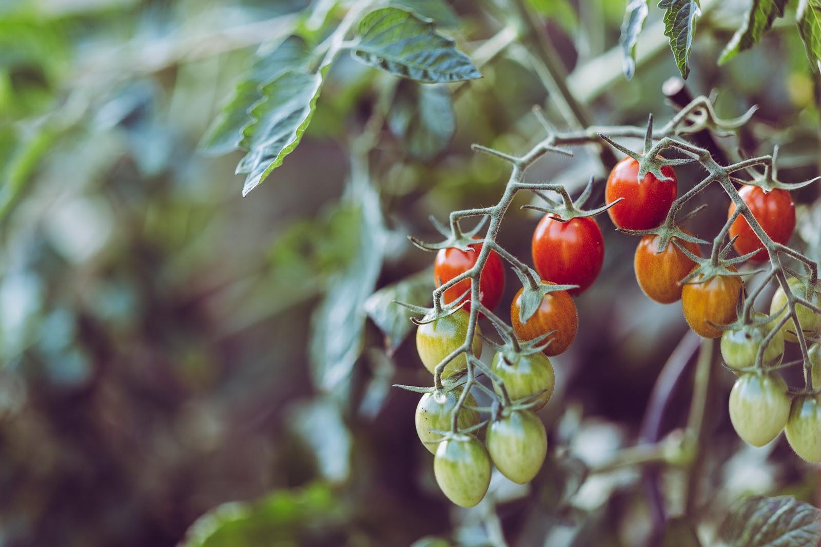 tomatoes planting garden veggie